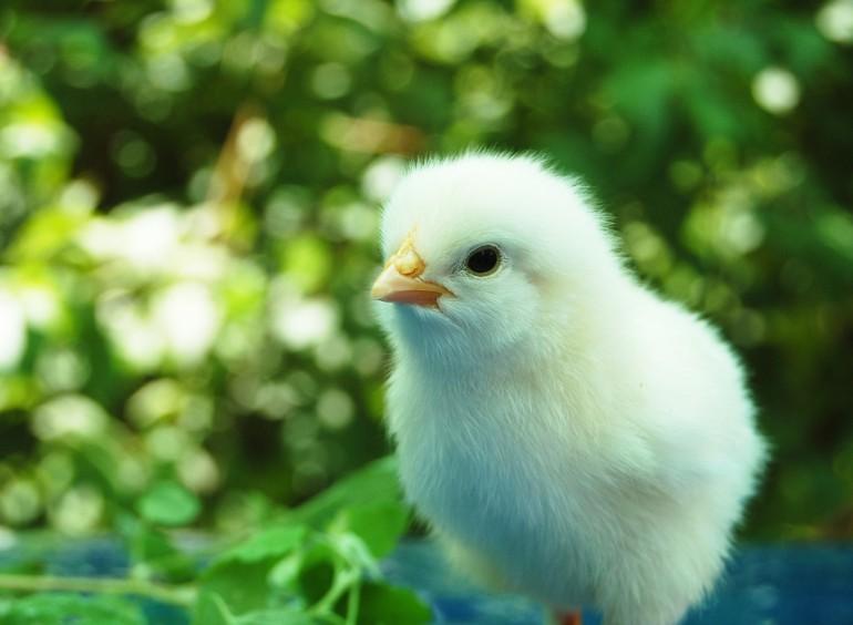 Adopteer een kip!