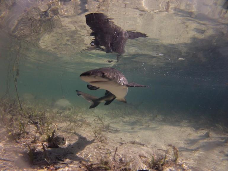 'Haaien zijn een enorm verkeerd begrepen diersoort'
